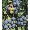 WR Vanderschoot 2 Pack O'Neal Blueberry (L10555)