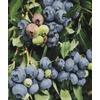 WR Vanderschoot 2 Pack O'Neal Blueberry (L10555)