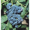 WR Vanderschoot 2-Pack Climax Blueberry (L1419)
