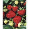 WR Vanderschoot 20-Count Tristar Everbearing Strawberry (L11172)