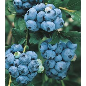 WR Vanderschoot 2-Pack Bluecrop Blueberry (L5242)