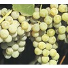 WR Vanderschoot 2 Pack Niagara Grape (L1200)