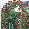  3.25-Gallon Climbing Rose (L10152)