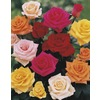5-Gallon Climbing Rose (L6421)