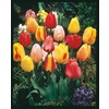  1-Pint Tulip Bulb