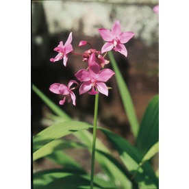 2.5-Quart Ground Orchid (L14527)