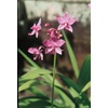 2.5-Quart Ground Orchid (L14527)
