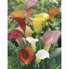 1.4-Quart Calla Lily Mixed (LW00678)