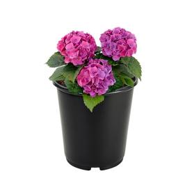2.5-Quart Mixed Hydrangea Flowering Shrub (L6357)