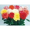 4-in Miniature Rose (L5965)