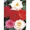 1 Pint Assorted Miniature Roses (L11449)