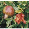 1-Gallon Pomegranate (L7402)
