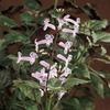 Mona Lavender Plectranthus (L0043)