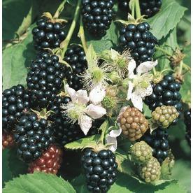 2.25-Gallon Blackberry Small Fruit (L5825)