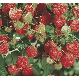 2.25-Gallon Raspberry Small Fruit (L5813)