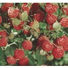 2.25 Gallon(S) Raspberry (L5813)