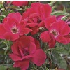 1-Gallon Knock Out Rose (L10923)