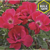 2-Gallon Knock Out Rose (L10923)