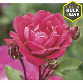 2-Gallon Double Knock Out Rose (LW02389)