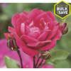 2 Gallon(S) Double Knock Out Rose (Lw02389)