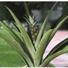 1-Gallon Anana Pineapple (L20912HP)