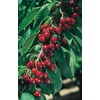 3.25-Gallon North Star Semi-Dwarf Cherry (L11447)