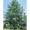 3.74-Gallon Pin Oak (L1097)