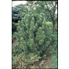 2.5-Quart Bosnian Pine (LW02159)