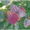 10-Gallon Purple Red Majestic Contorted Filbert Feature Shrub (LW03526)