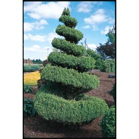 4.25-Gallon Spiral Alberta Spruce Feature Shrub (LW02483)