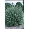 2.25-Gallon French Pussy Willow (L14865)