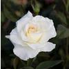 1.5-Gallon White Rose Flowering Shrub