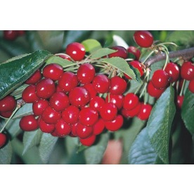 3.25-Gallon Early Richmond Cherry (L6898)