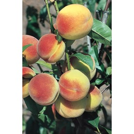  3.25-Gallon Hale Haven Semi-Dwarf Peach (L4545)
