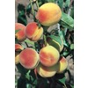 3.25-Gallon Hale Haven Semi-Dwarf Peach Tree (L4545)