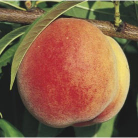 3.74-Gallon Super Sweet Peach Tree (LW01532)