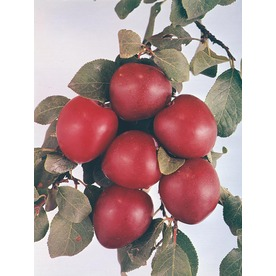 3.25-Gallon Morris Semi-Dwarf Plum (L16604)