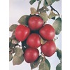 3.25-Gallon Morris Semi-Dwarf Plum Tree (L16604)
