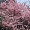  24.5-Gallon Kwanzan Flowering Cherry Tree (L1023)