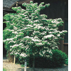 2.25-Gallon Kousa Dogwood (L1140)