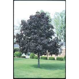 10.25-Gallon Royal Red Norway Maple (L1156)