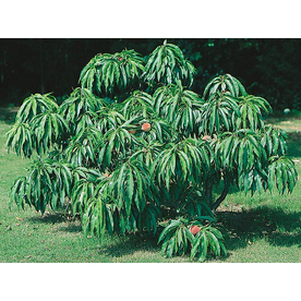 5.5-Gallon Genetic Dwarf Peach Tree (L5989)