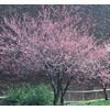 6-Gallon Redbud (L11838)
