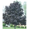 6-Gallon Royal Red Norway Maple (L1156)