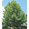 6.08-Gallon Sycamore Tree (L1049)