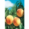 3.25-Gallon Ranger Peach Tree (L1190)