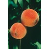 3.25-Gallon Red Haven Peach (L1342)