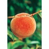 3.25-Gallon Redskin Peach (L3648)