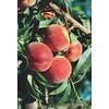 3.25-Gallon Red Globe Peach (L1188)