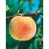  3.25-Gallon Texstar Peach (L1269)